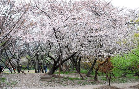 樱花的开花小贴士