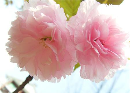 樱花开花图片欣赏