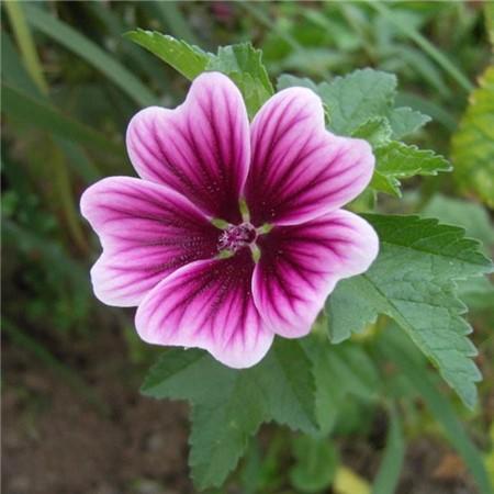 锦葵繁殖图片