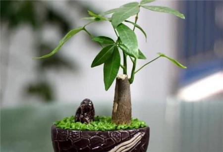 台湾发财树图片