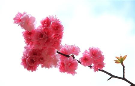 樱花掉叶子是季节变化