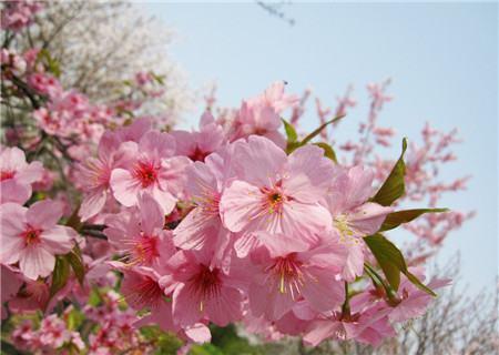 樱花树掉叶子是虫害影响
