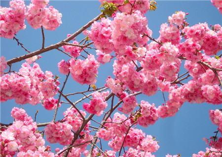 樱花树掉叶子是浇水不当