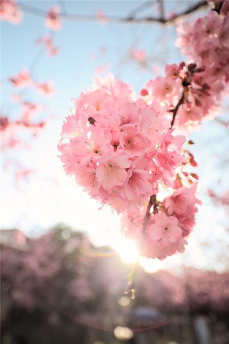 樱花树掉叶子是施肥过浓