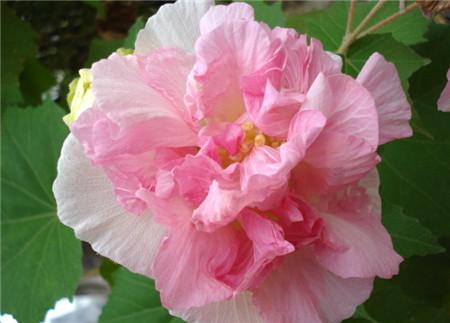 光照影响木芙蓉花的开花
