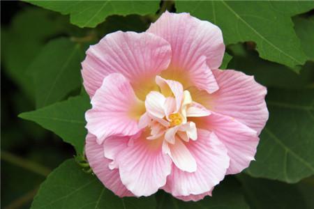 水分影响木芙蓉花开花