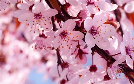 樱花在民间的地位