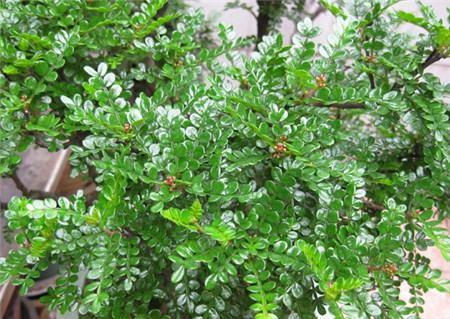清香木可以放在室内养殖吗