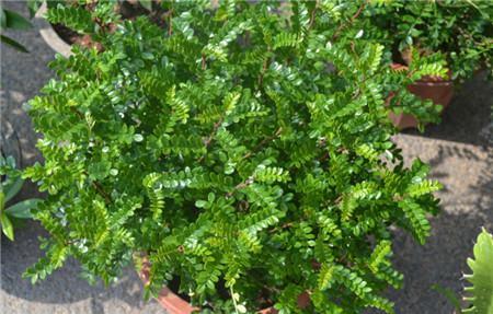 清香木的室内养殖注意事项