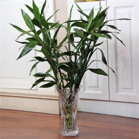 水培富贵竹不生根怎么处理