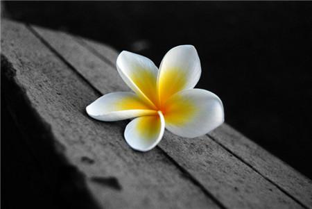 鸡蛋花开花图片欣赏