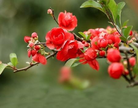 中国的古今名人与海棠花