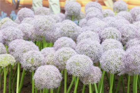 大花葱的分株繁殖