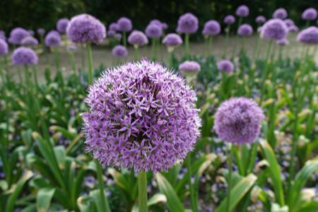 大花葱的播种繁殖