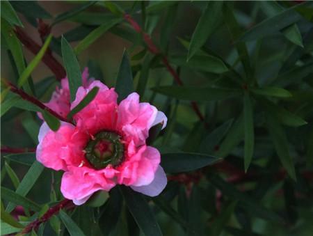 松红梅的花期