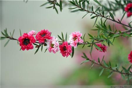 松红梅开花图片欣赏