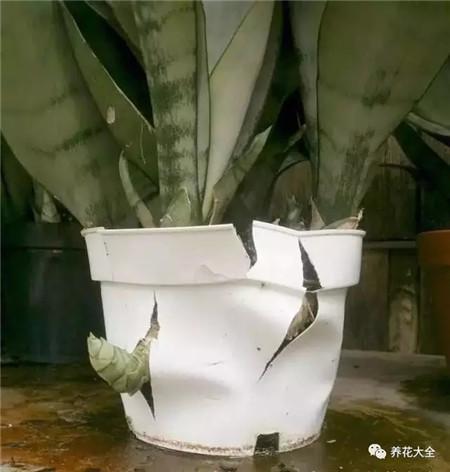 虎皮兰卷叶是什么原因图片