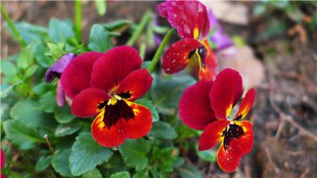 蝴蝶花开花的形态
