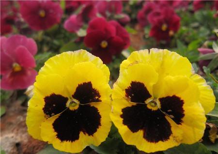 蝴蝶花开花图片欣赏