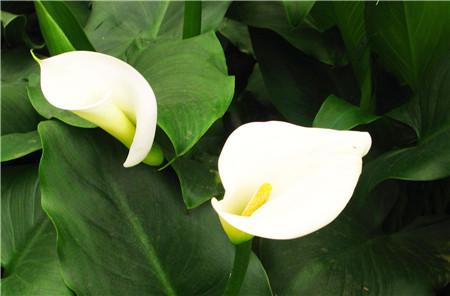 马蹄莲开花图片欣赏