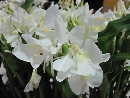 姜花的花朵欣赏