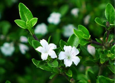 富贵竹开花_夏季开花的植物有哪些 - 花百科