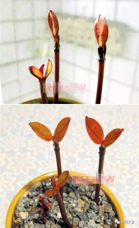 山竹长茎秆