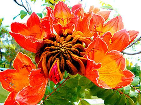 多肉雪莲种子_火焰树的花期 - 花百科