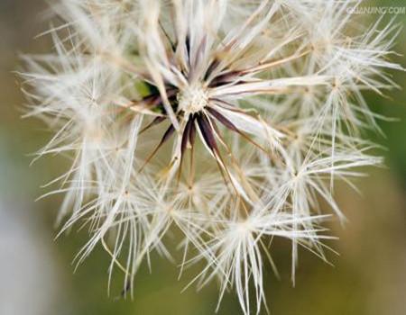 蒲公英的种子收集