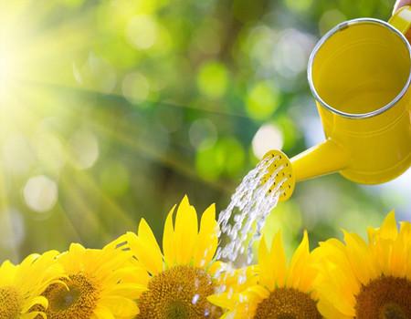 向日葵的浇水