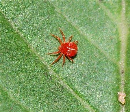 腋唇兰红蜘蛛