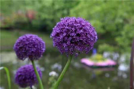 大花葱紫色轰动