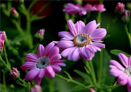 瓜叶菊的扦插繁殖