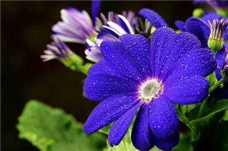 瓜叶菊的繁殖方法