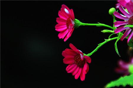 使瓜叶菊提前或延迟开花