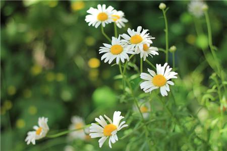 白晶菊的适宜光照