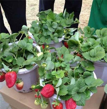草莓开花的时候应该施什么肥