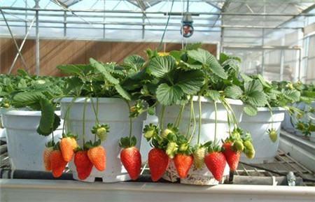 草莓结果注意事项