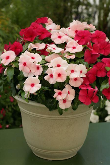 长春花开花