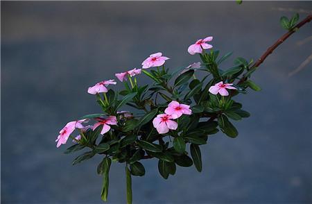 长春花开花欣赏