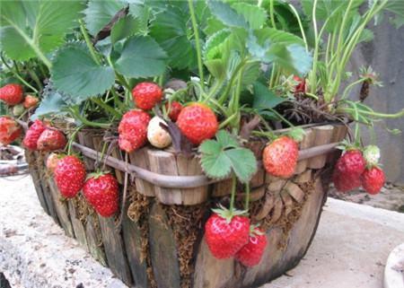 草莓种子催芽
