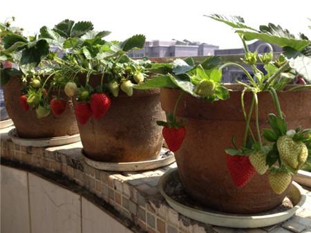 草莓种子播种方法