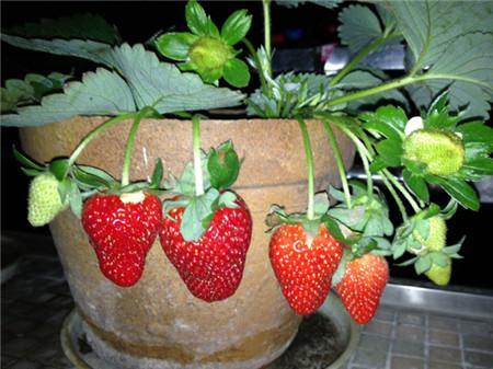 草莓夏季休眠的养护