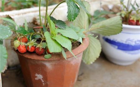 草莓种子什么时候种好