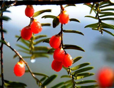 红豆杉的果实