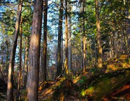 红豆杉的树干