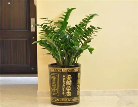 金钱木与金钱树叶茎的区别