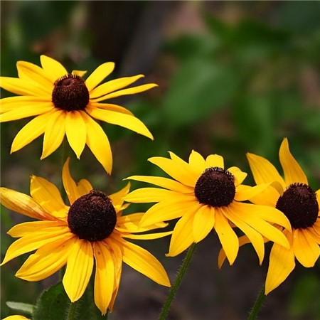 黑心菊种子播种方法