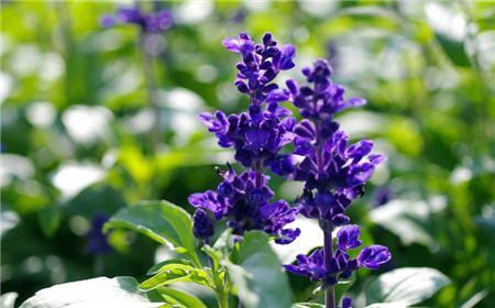 蓝花鼠尾草的花期
