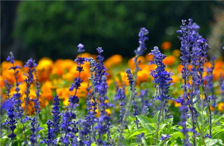 蓝花鼠尾草开花欣赏